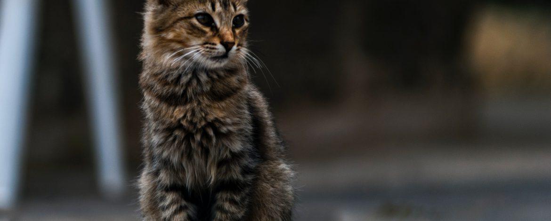 Świerzb uszny u kota